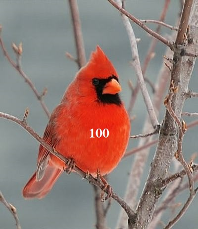 Cardinal_rouge2-Copie.jpg